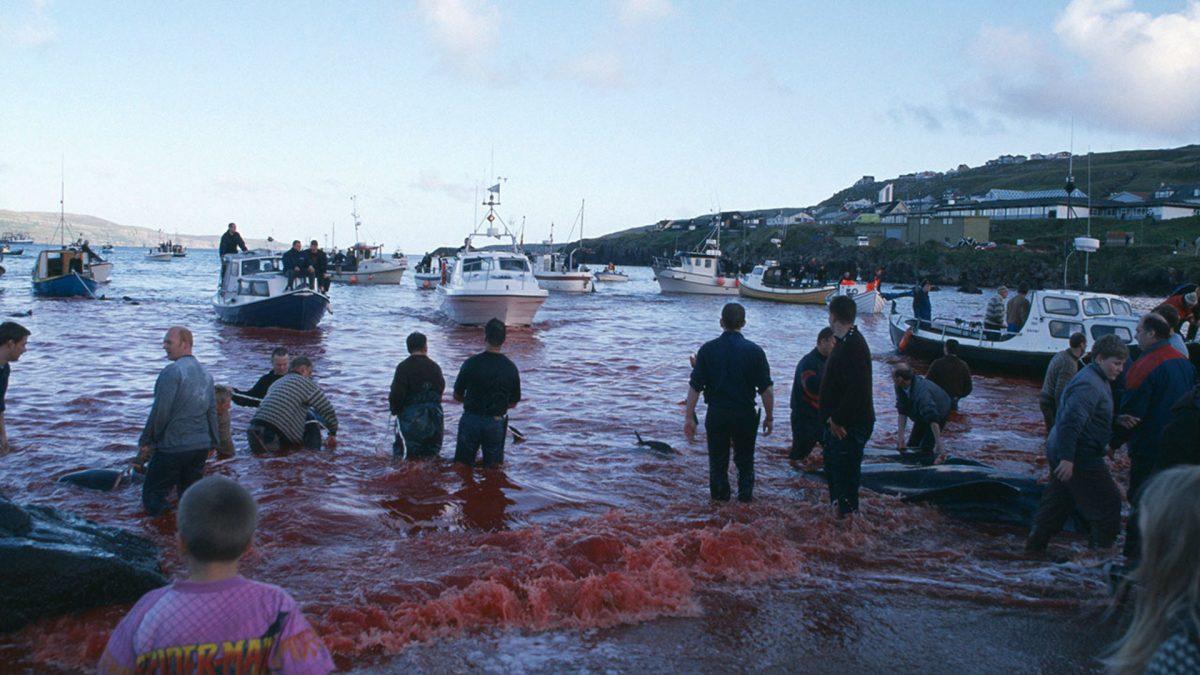 Жители Фарерских островов устроили традиционную бойню дельфинов и китов
